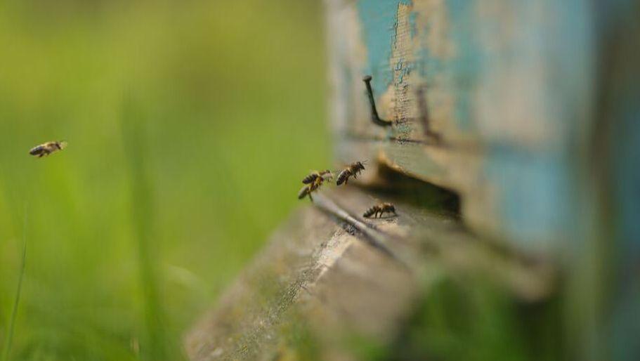 Honeybees entering their hive.